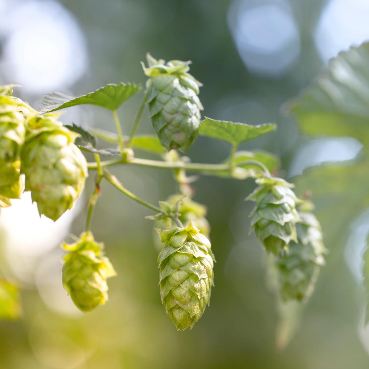 Birra-luppolo